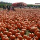 Pumpkin Farm in Long Island