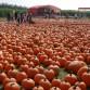 Pumpkin Farm in Long Island